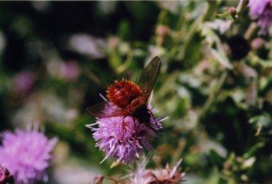 Close up of orange bee on purple flowers