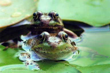 Close up of two frogs on lily pads in water