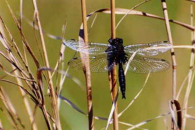 Close up of dragonfly on reed