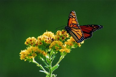 Image of monarch butterfly sitting on yellow flowers