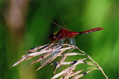 Close up of red dragonfly sitting on grass shaft