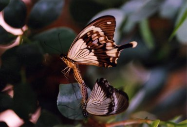 Close up of two butterflies and leaves