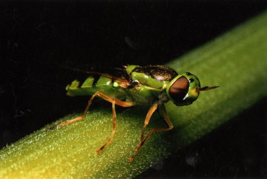 Close up of soldier fly,Stratiomyidae, on green stalk