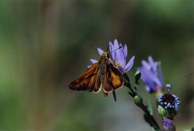 Close up of orange moth on purple flower