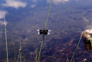 Close up of black and white dragonfly on green reed over water