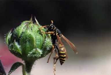 Close up of bee on flower bud