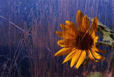 Double Exposure- Sunflower over grasses