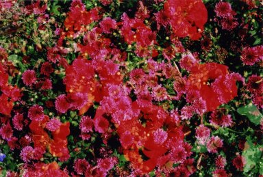 Double Exposure- Red flowers over pink flowers