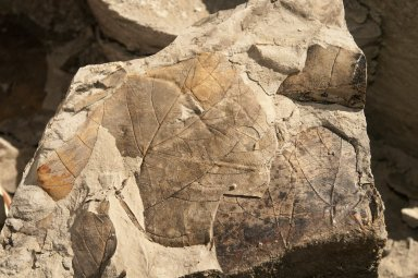 Close up of the leaf specimens shown in picture Kai2011-34 on the Kaiparowits Plateau.