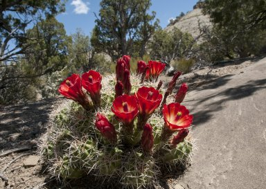 A blooming cactus on the Kaiparowits Plateau.