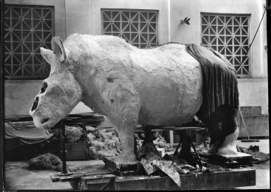 Rhinoceros mount being prepared for exhibit at The Field Museum