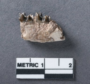 Antiacodon vanvaleni mandible, rotated view