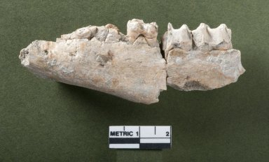 Lambdotherium jaw rotated view