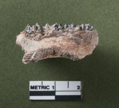 Selenaletes mandible, rotated side view