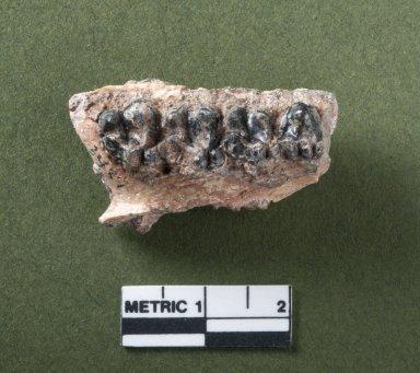 Selenaletes mandible, top view