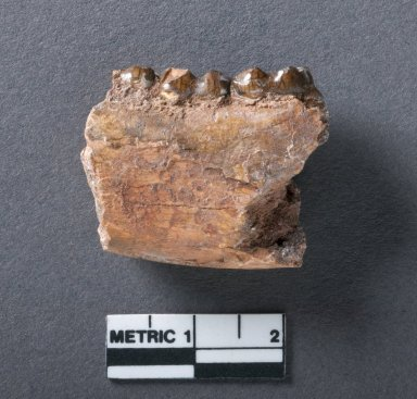 Phenacodus Primaevus jaw, rotated side view