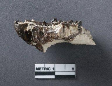Hyopsodus palate, side view