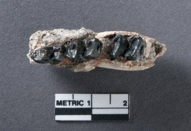 Heptodon jaw, top view
