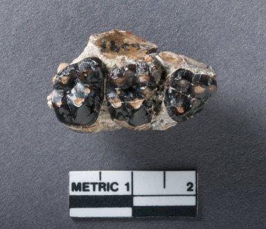 Phenacodus Primaevus jaw, top view