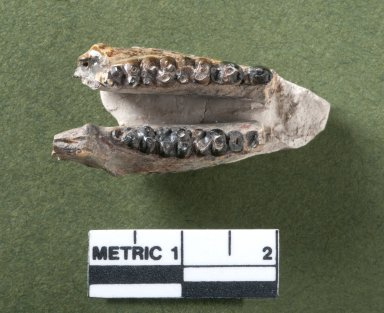 Hyopsodus lower jaw (both lowers), top view