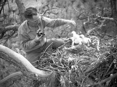 A.M. Bailey in tree with Golden eagle chicks