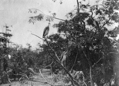 Louisiana Heron, also called Tri-colored Heron