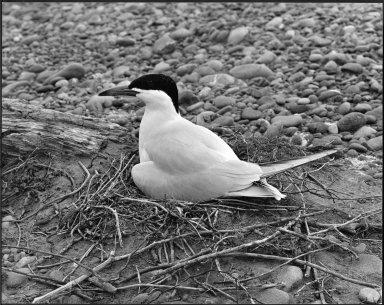Caspian Tern, Hydroprogne caspia