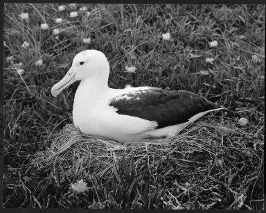 Royal Albatros, Diomedea epomophora
