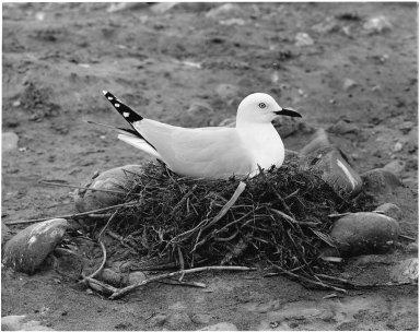 Black Billed Gull, Larus bulleri