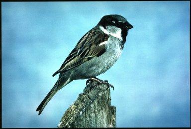 House Sparrow, Passer domesticu