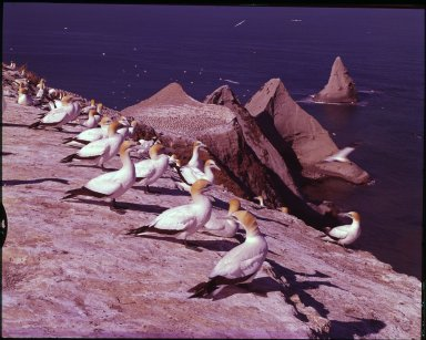 Nesting gannets and Cape Kidnappers.