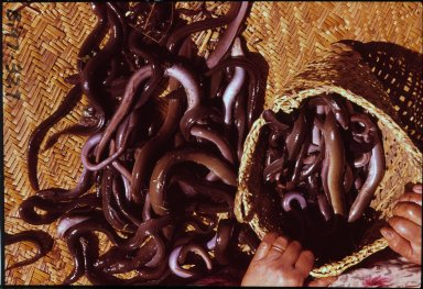 Small eels