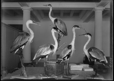 Mounted South American Herons