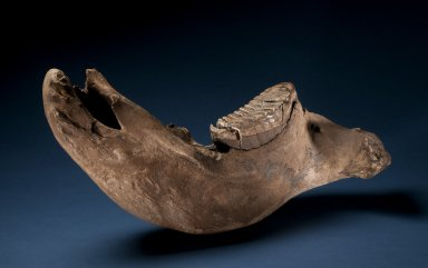 Columbian Mammoth Mandible & Tooth