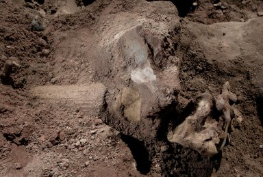 Snowmastodon Excavation, Fossils
