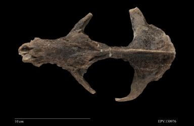 Eoconodon sp. skull