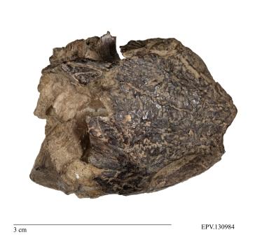 Partial turtle skull