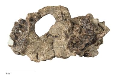 Carsioptychus coarctatus