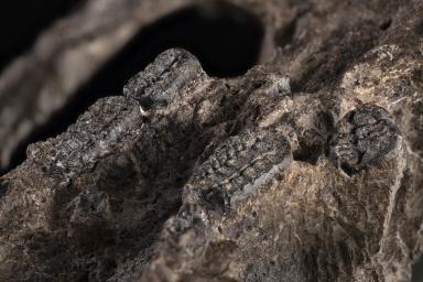 Taeniolabis taoensis skull