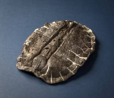 Turtle shell, Hoplochelys sp.