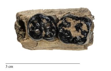 Ectoconus sp. jaw