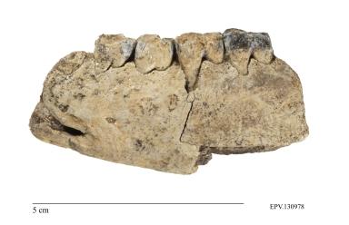 Ectoconus sp. mandible
