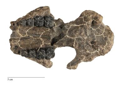 Ectoconus sp. skull, juvenile
