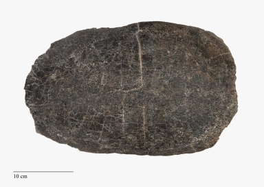 Turtle, Adocus sp. Shell