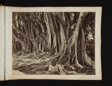 India rubber trees in Sri Lanka.