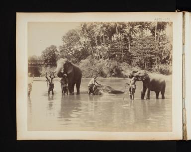 Group of five men bathing three elephants in a river in Sri Lanka.