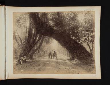 A bullock cart passes under a huge tree trunk in Sri Lanka.