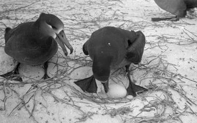 Black-footed albatrosses