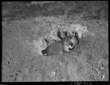 Black-tailed prairie dog in Colorado
