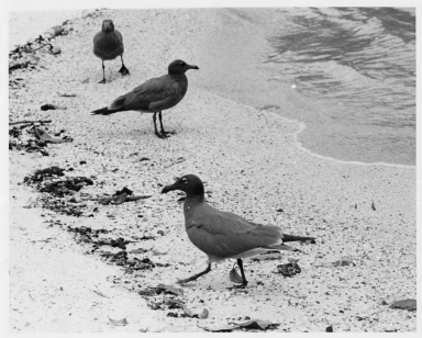 Three Sooty Gulls